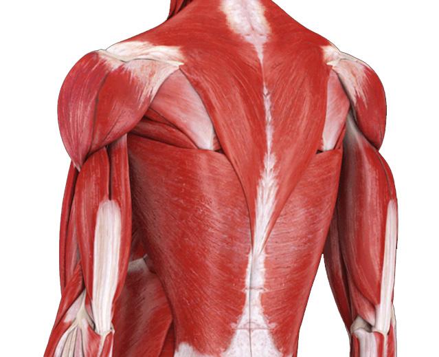 肩こりに関連する筋肉